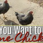 So You Want to Own Some Chickens